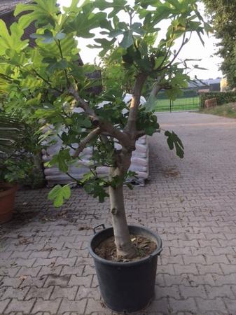 Ficus Carcia/vijgenboom