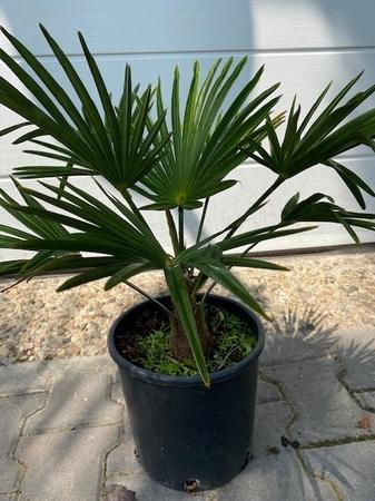 Trachycarpus wagnerianus 60cm stamhoogte