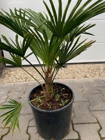 Trachycarpus wagnerianus 80 cm stamhoogte