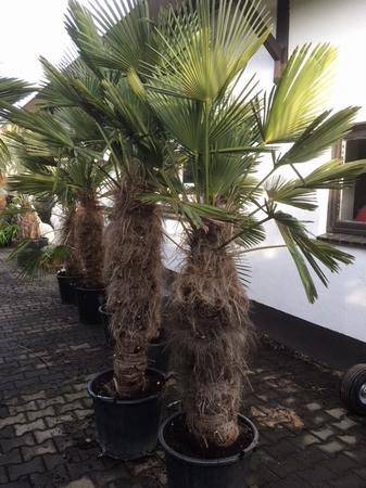 Trachycarpus wagnerianus 100cm stamhoogte