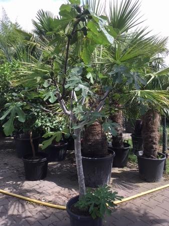 Vijgenboom Ficus Carica NR5