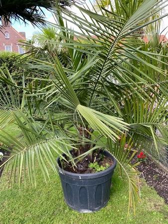 Jubaea Chilensis stamdiameter 40-45 cm hoogte 1,80 -2 m