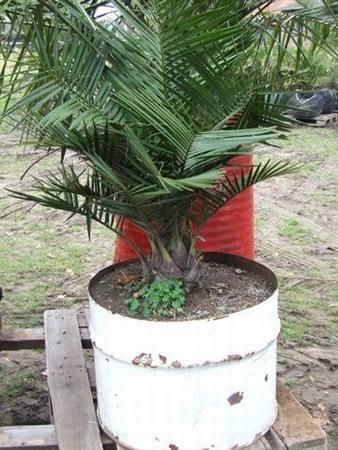 Jubaea Chilensis stamdiameter 20 cm in halve drums