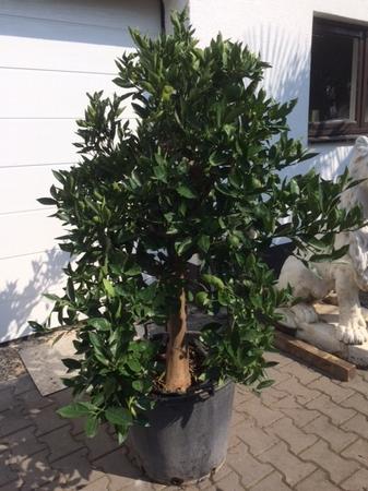 Sinaasappelboom 2808.1