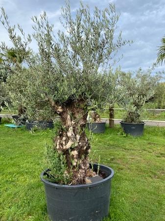 Olijfboom Olea Europaea NR48