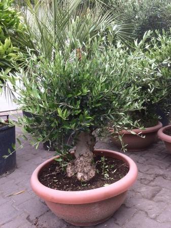 Olijfboom Olea europea / Tarinna NR 0705.8