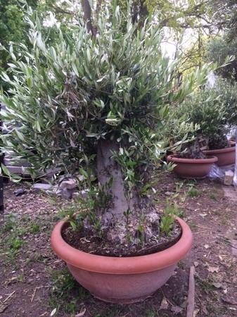 Olijfboom Olea europea / Tarinna NR 0705.3