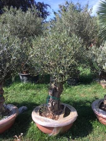 Olijfboom Olea europaea in decoschaal NR105