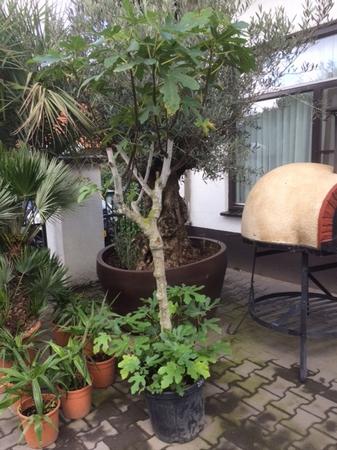 Ficus Carica / vijgenboom NR2808.3