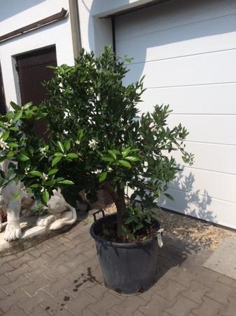 Sinaasappelboom 2808.2
