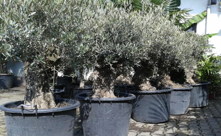 Flinke olijfbomen goedkoop voor een weggeefprijs