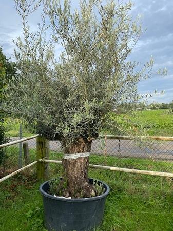 Olijfboom Olea Europaea NR 19067