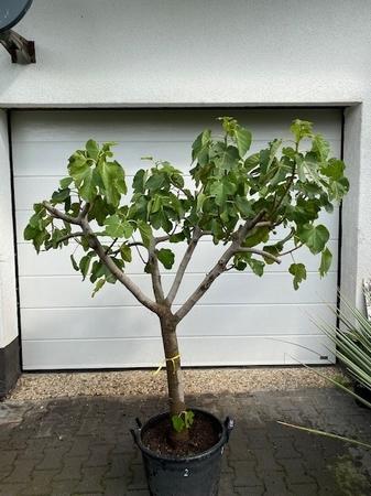 Vijgenboom Ficus Carica NR2