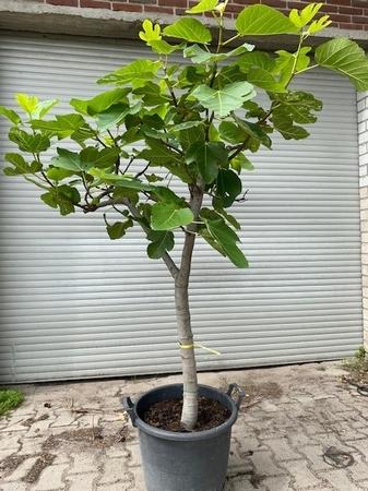 Vijgenboom Ficus Carica NR3