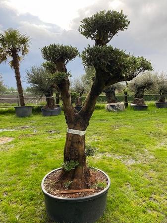 Olijfboom Olea europaea / gladde stam/ decoschaal NR201