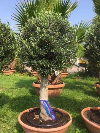 Olijfboom Olea europaea / gladde stam / decoschaal NR203