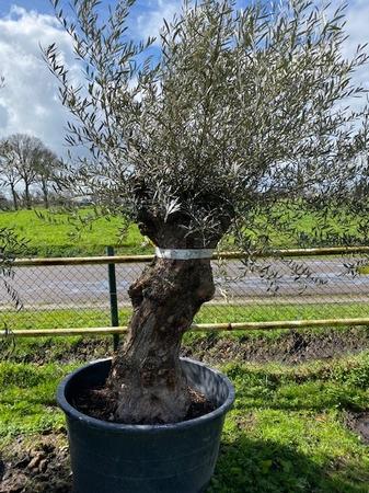Olijfboom Olea Europaea NR20106