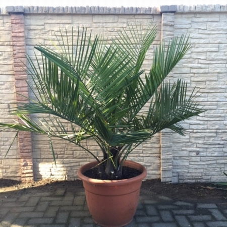 Jubaea Chilensis stamdiameter 20 - 25 cm