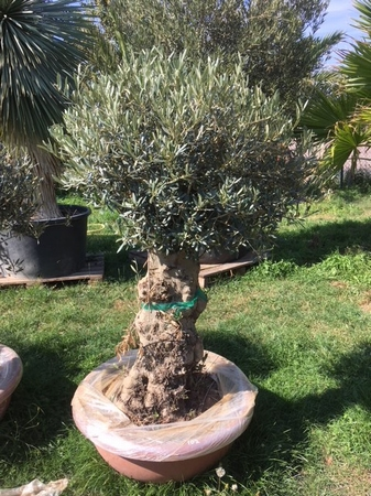 Olijfboom Olea Europea in deco schaal NR102