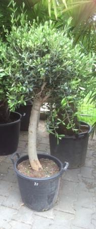 Olijfboom Olea europea / gladde stam