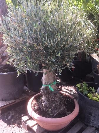 Olijfboom Olea europaea/ bonsai