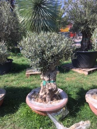 Olijfboom Olea europea in deco schaal NR103