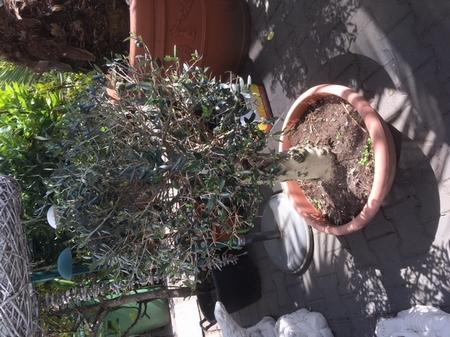 Olijfboom Olea europae / gladde stam 2507.1