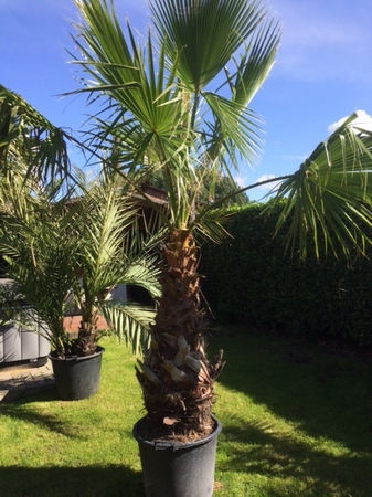 Washingtonia Robusta 100cm stamhoogte NR1009.3