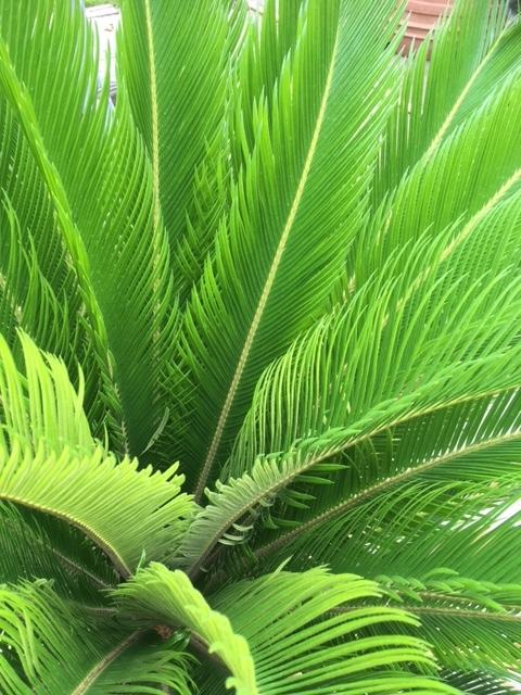 Cycas Revoluta 100cm planthoogte