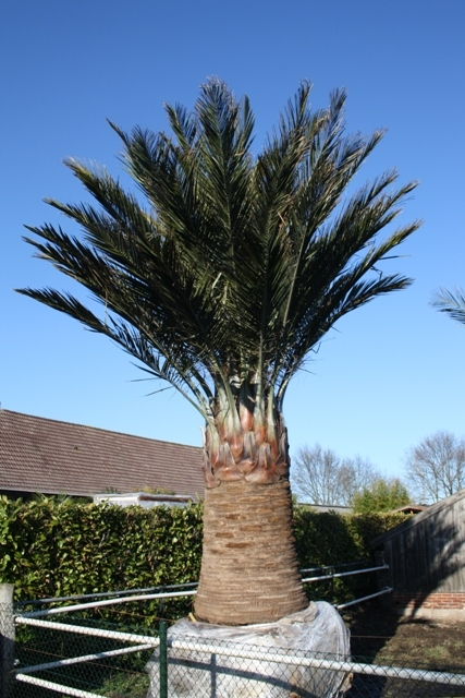Jubaea Chilensis stamhoogte ± 250cm