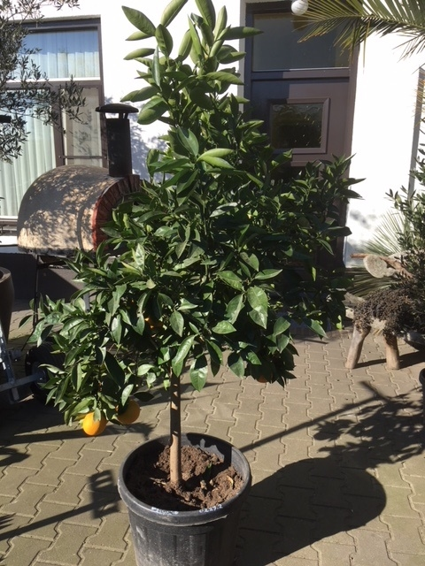 Sinaasappelboom 45 Liter pot NR 0227.2