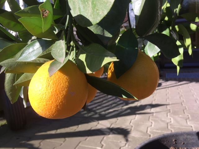 Sinaasappelboom 45 Liter pot NR 0227.2