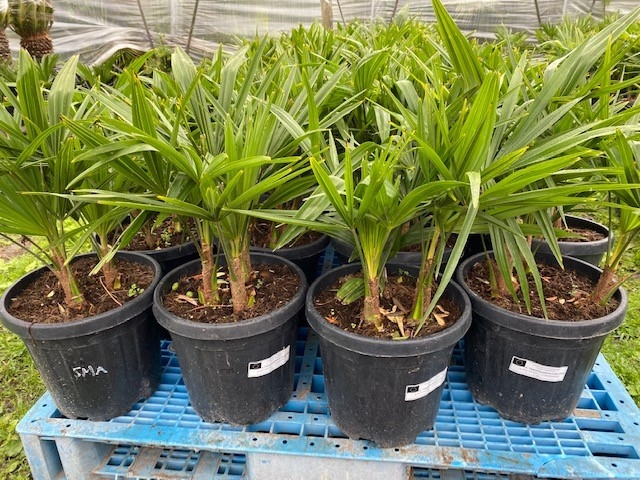 Trachycarpus fortunei 3stam