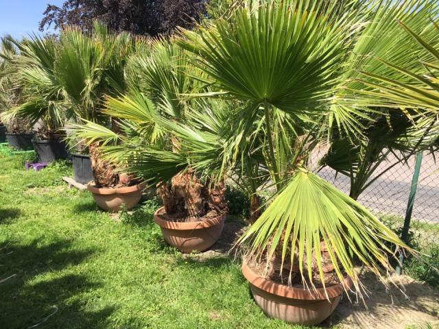 Washingtonia Robusta groep 5 stam in deco schaal