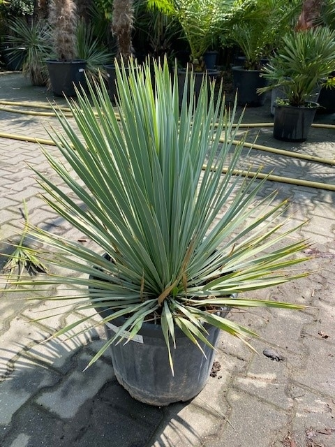 Yucca rostrata ±50cm planthoogte