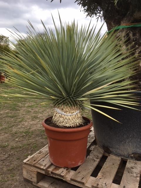 Yucca rostrata 80cm planthoogte