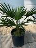 Trachycarpus wagnerianus ± 10cm stamhoogte