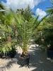 Phoenix Canariensis 30-40cm stamdiameter
