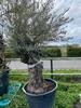 Olijfboom Olea Europaea NR5