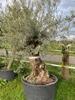 Olijfboom Olea europaea NR14