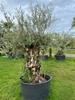 Olijfboom Olea Europaea NR13