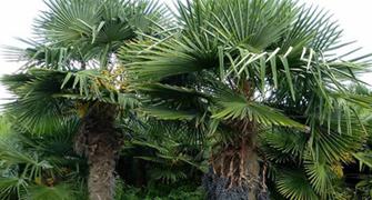 Twee grote trachycarpus fortunei