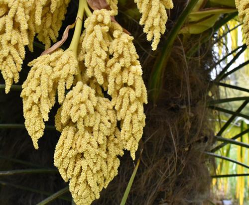Trachycarpus Fortunei gele bloemen