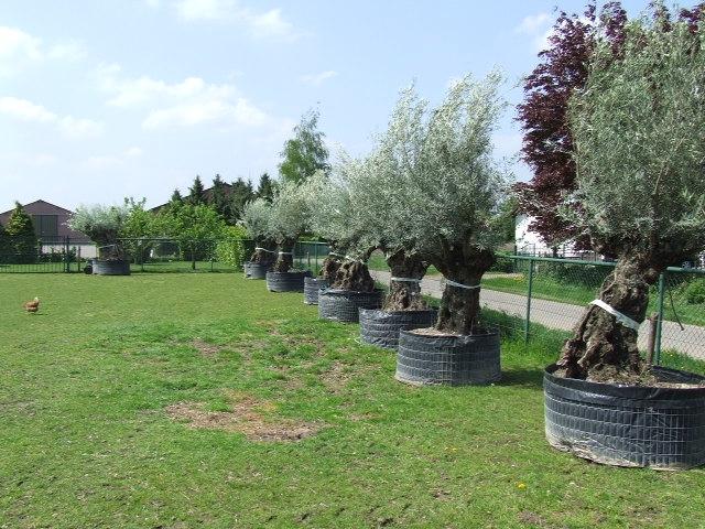 Olijfbomen grote maten
